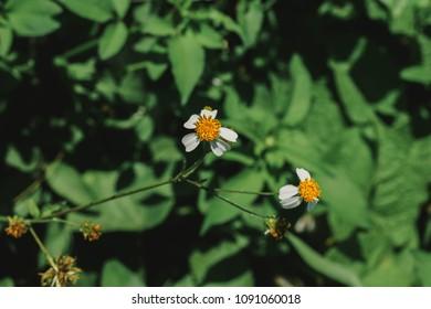 Spanish needle flower, white flower