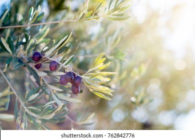 Spanish olive grove, branch detail. Raw ripe fresh olives growing in mediterranean garden ready to harvest, soft focus.