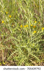 Spanish oyster flower or golden thistle, Scolymus hispanicus of the family Asteraceae growing over a dune in Arousa Island