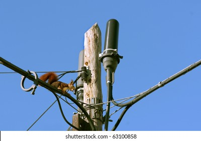 Spanish red squirrel (Sciurus vulgaris) on the telephone lines (squirrel super highway) with a nut in its mouth, taking it home to store for the winter.