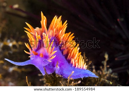 A Spanish shawl nudibranch snail, commonly found in the Channel Islands of California, crawls on branching cnidarians in search of food.