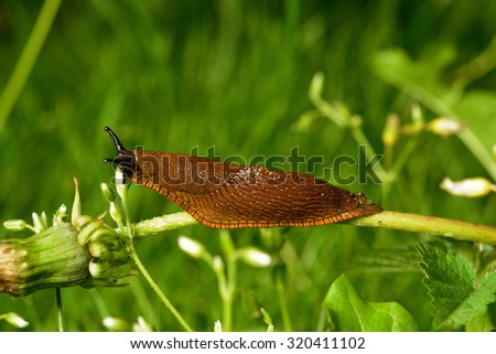 Spanish slug (Arion vulgaris) invasion in garden. Invasive slug. Garden problem. Europe.