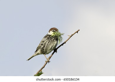 Spanish Sparrow, male, in natural habitat /  Passer hispaniolensis