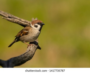 Spanish sparrow or willow sparrow (Passer hispaniolensis) is a passerine bird
