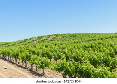 spanish vineyard landscape. Vineyards view in Rueda in a sunny day