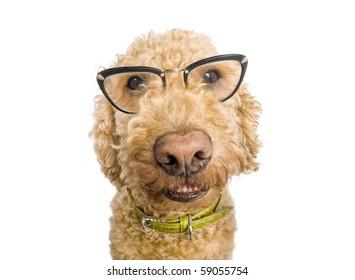 Spanish waterdog wearing cat-eye glasses, shot over white