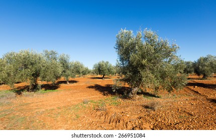 Spanish winter landscape with Olives fields