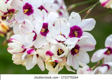 Sparaxis, white ixia, harlequin flower, wandflower, corn lilies