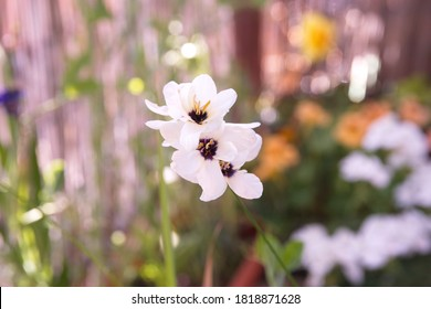 Sparaxis, white ixia, harlequin flower, wandflower, corn lilies, South African native bulb plant