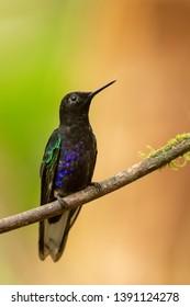 Sparking Violetear Hummingbird - On a Perch