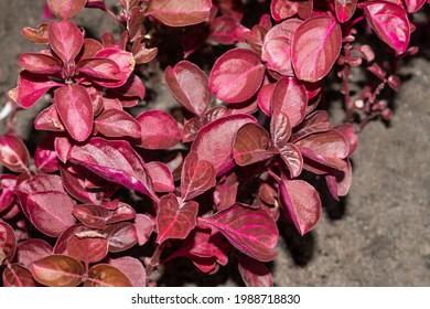 Sparkling Iresine herbstii, Herbst's bloodleaf red leaves on a flower bed. Close up - Shutterstock ID 1988718830