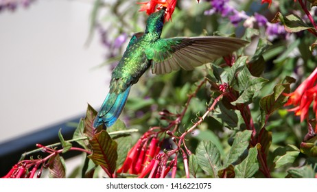 Sparkling violetear (Colibri coruscans) in flight, feeding from an Ecuadorian fuchsia bush, in a yard in Cotacachi, Ecuador