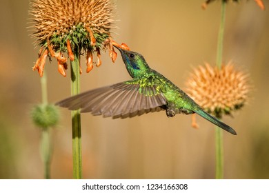 Sparkling violet-ear, Colibri coruscans, hovering next to orange flower, bird from high altitudes, machu picchu, peru beautiful medium size hummingbird sucking nectar from blossom