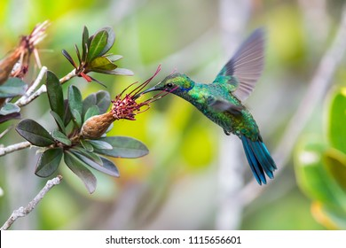 Sparkling violetear hummingbird (Colibri coruscans) in flight, feeding on a flower