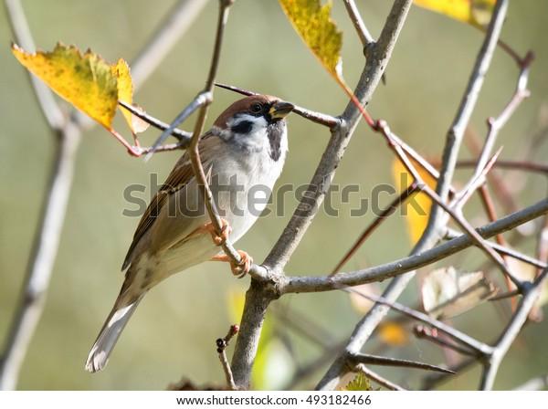 Sparrow in the autumn.