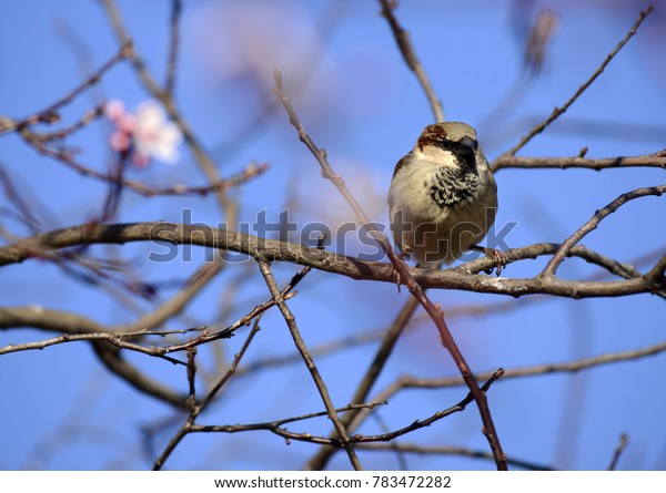 Sparrow between branches in the tree