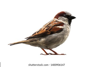 Sparrow bird isolated. Sparrow songbird (family Passeridae) sitting perching isolated cut out on white background close up photo. Bird wildlife as design element.