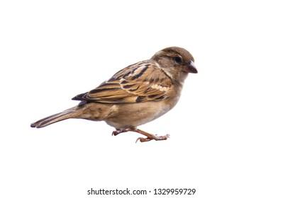 Sparrow Bird on White Background