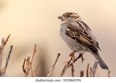 Sparrow bird perched on tree branch. House sparrow female songbird (Passer domesticus) sitting singing on brown wood branch with yellow out of focus negative space background. Sparrow bird wildlife.