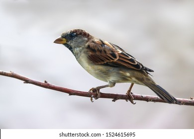 Sparrow bird perched sitting on tree branch. House sparrow male songbird (Passer domesticus) sitting singing on dried brown wood branch with brown out of focus background. Sparrow bird wildlife scene