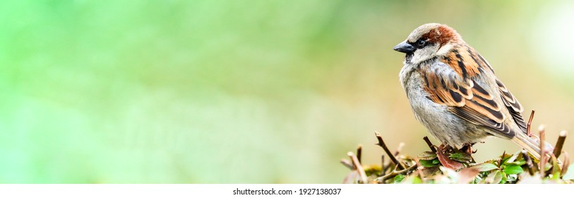 Sparrow bird perched sitting on tree branch. Sparrow songbird (family Passeridae) sitting and singing on tree branch green leaves close photo green wide banner background. Bird wildlife spring scene.