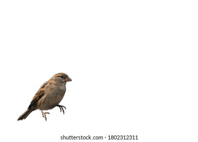 Sparrow bird with white background. Sitting on left side.