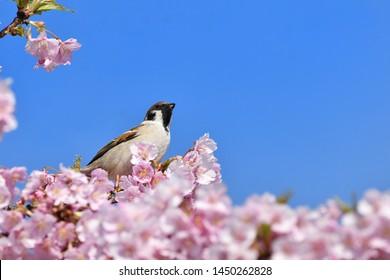 Sakura sena