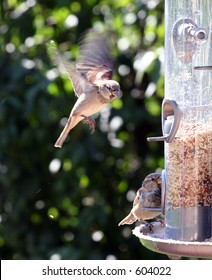 Sparrow caught in mid air coming in for a landing on bird feeder