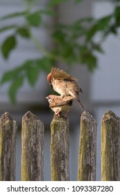 Sparrow couple copulating on an old wooden fence