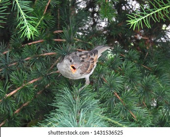 Sparrow defends the nest. Bird in polish forest.