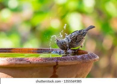 A sparrow drinking, washing and spinning its head in a bowl of water