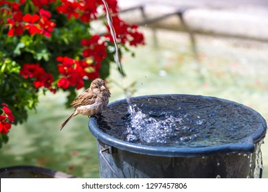 Sparrow drinking water in Bern in a beautiful summer day, Switzerland