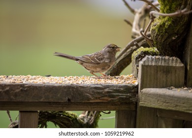 Sparrow eating birdseed on wooden rail