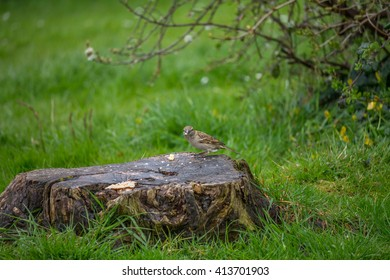 Sparrow eating some food left on a tree stump.