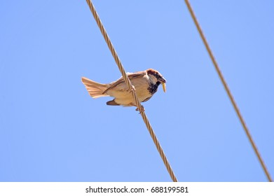 Sparrow eats a grasshopper on a wire against blue sky. Sparrow holds the grasshopper in the beak. Domestic sparrow