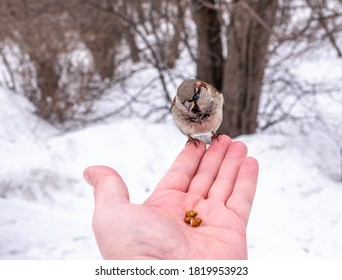 Sparrow eats nuts from a man's hand. A Sparrow bird sitting on the hand and eating nuts.