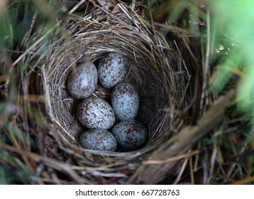 Sparrow Eggs in Nest