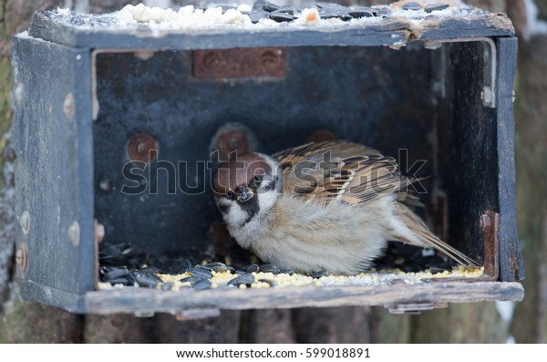 Sparrow in the feeder eating sunflower seeds in the winter