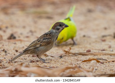 A sparrow finding food with shell parakeet on background