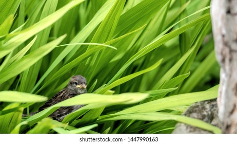 Sparrow fledgling crash landed in long grass after failing to land on a bird bath
