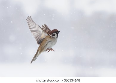 a Sparrow flies in the sky, along with snowflakes in the winter in the Park