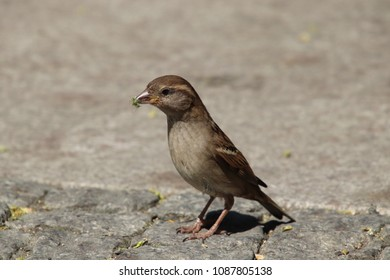 sparrow with grass in beak