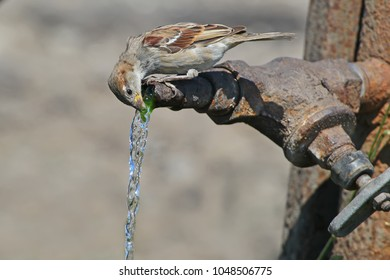 A sparrow greedily drinks water from a large metal tap in hot weather