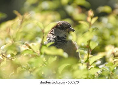 Sparrow hidden in bush