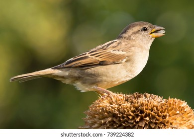 Sparrow -  House sparrow (Passer domesticus), sparrow on the sunflower feeding with sunflower seeds