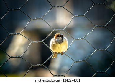 Sparrow Lider with Head Up