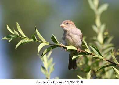 A sparrow on a branch in the garden.