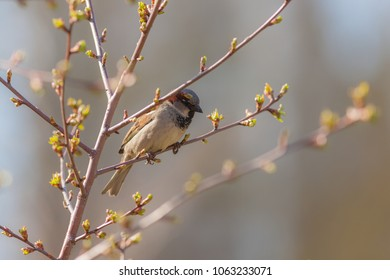 sparrow on a branch with spring buds
