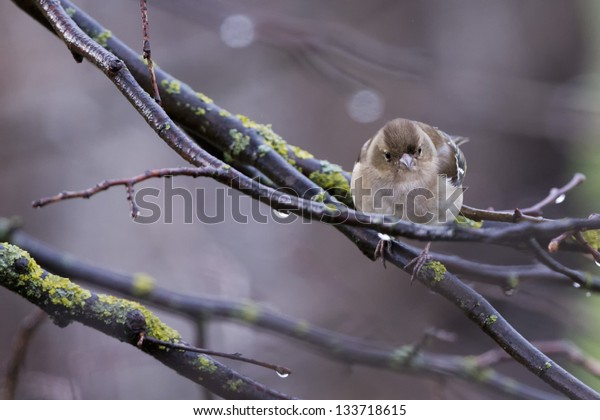 A sparrow on the brown background