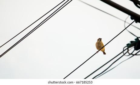 sparrow on the cord